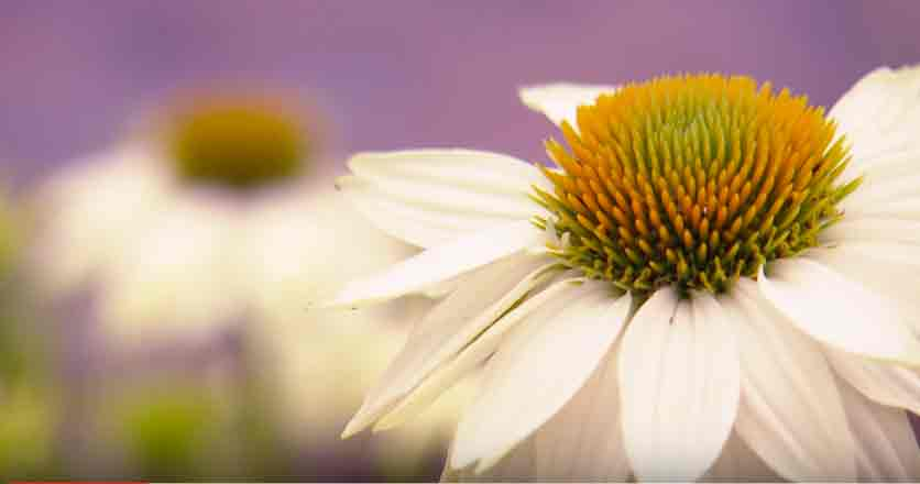 Der weiße Garten hat eine besondere Anziehungskraft. Wir zeigen im Film, wie ein solcher Garten seine einzigartige Ausstrahlung entfalten kann.