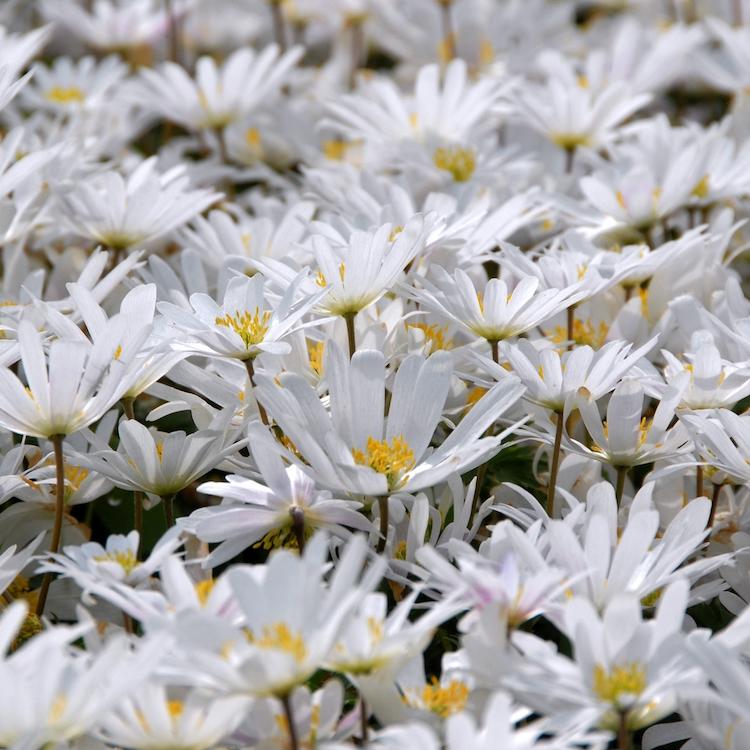 Ende März zeigt sich Anemone blanda 'White Splendour' mit kleinen fröhlichen Sternblüten, die sich wie ein weißer Teppich auf die Frühlingswiese legen