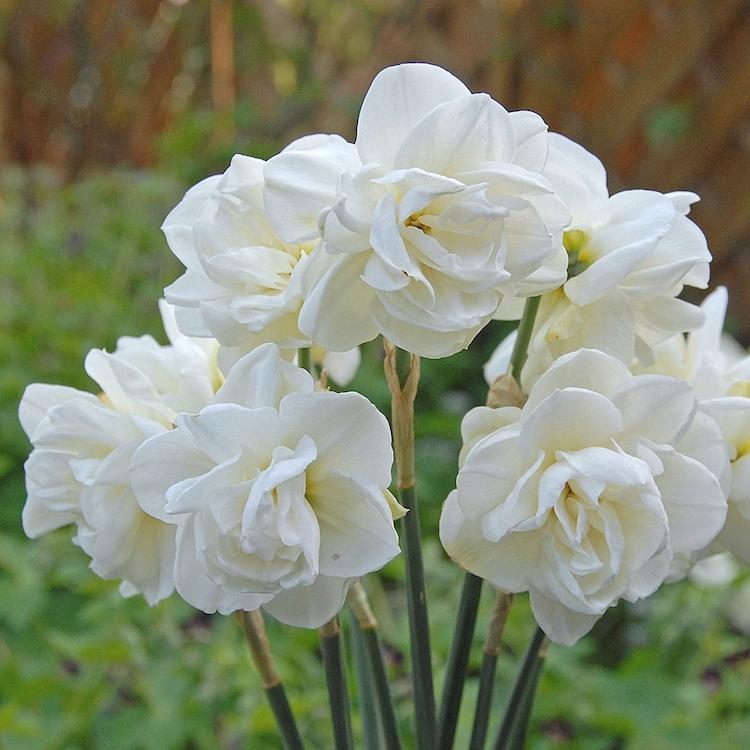 Wunderschön gefüllte Blütenwölkchen zaubert die weiße Narzisse 'Rose of May' in den Garten.