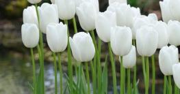 Eine der schönsten spätblühenden weißen Tulpen ist 'Maureen'.